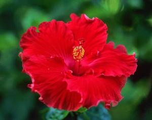 Ibisco, gradevole rimedio per ipertensione lieve e moderata