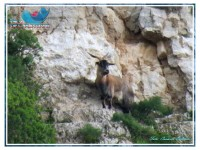 Sutera – Riecco Paolina, la capretta suterese